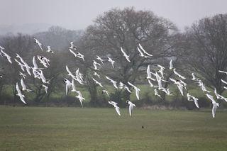 Seagulls small